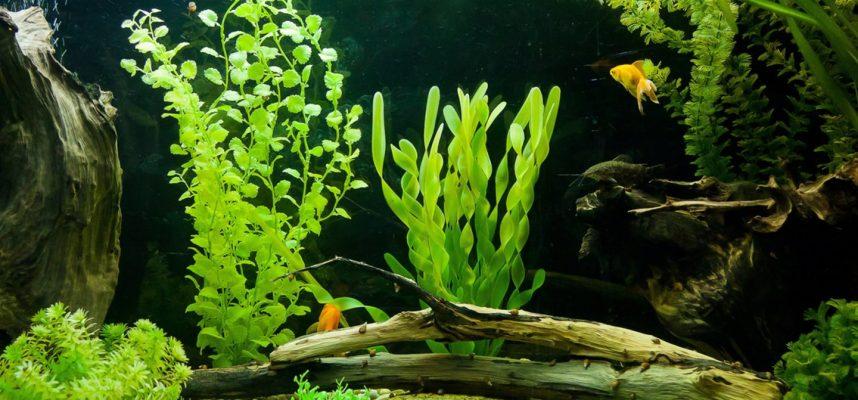 4 dalykai, į kuriuos verta atsižvelgti, renkantis akvariumo augalus