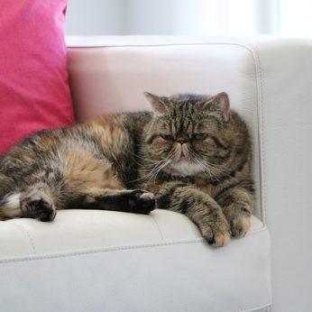 Kačių veislės Egzotų trumpaplaukė katė (Exotic Shorthair) – amerikiečiai dar vadina Teddy Bear cat
