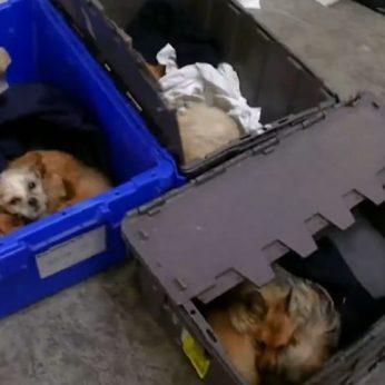 Lietuva linksniuojama Didžiosios Britanijos spaudoje – pirmauja pagal šunų kontrabandą į Angliją