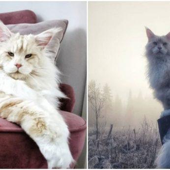 Ši katė – tikra interneto žvaigždė: dėmesio ji sulaukė dėl savo įspūdingo dydžio