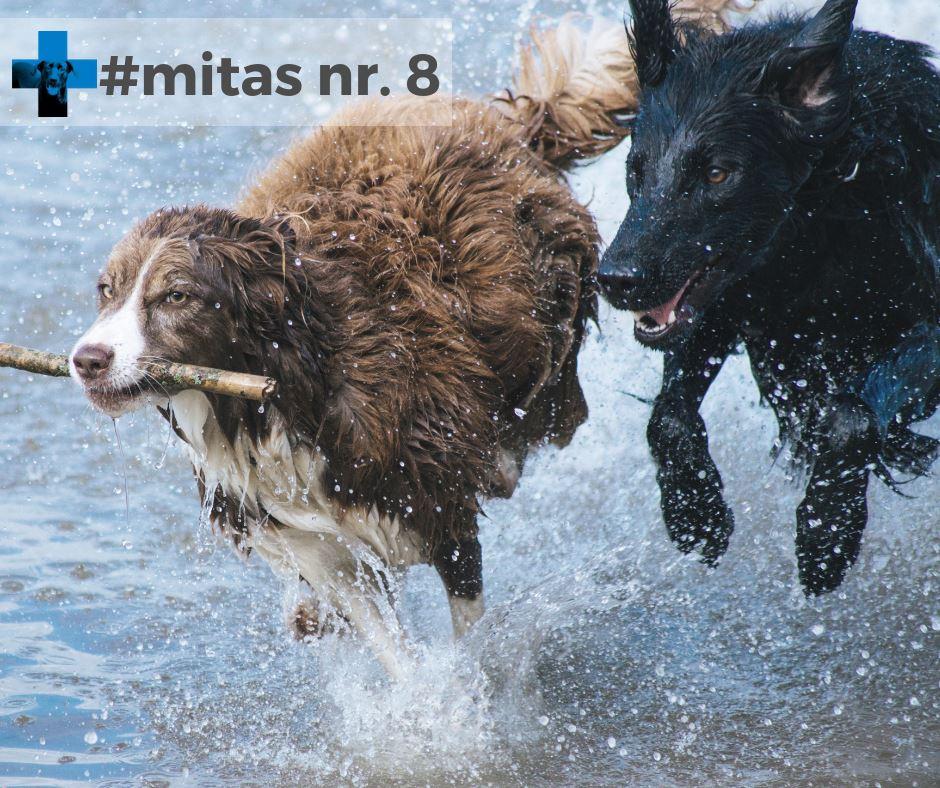Mitas nr. 8. Šuns laukia labai ilgas atsigavimo po tokios operacijos laikotarpis.