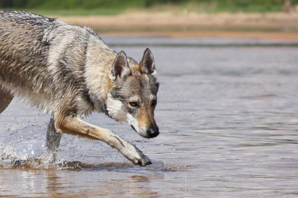 Čekoslovakų vilkšunis - gyvenimo partneris, suteikiantis žavaus subtilumo kiekvienai akimirkai. Czechoslovakian wolfdog is a partner of your life.