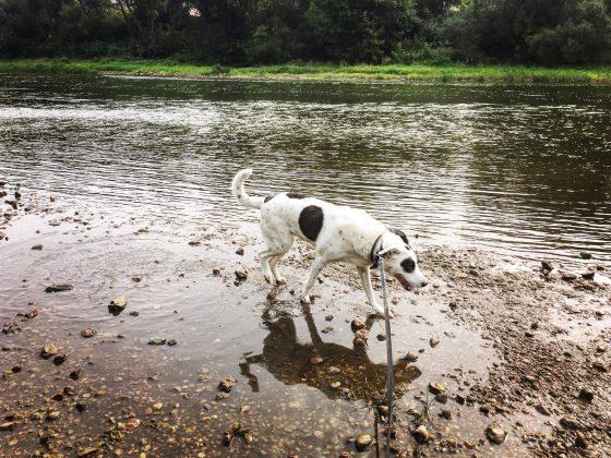 Šuns vedžiojimas ir priežiūra Jūsų namuose Vilniuje