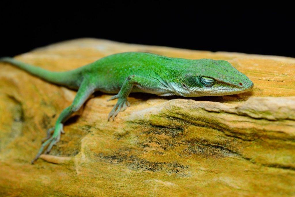 Žalieji anoliai, kaip naminiai gyvūnai, užsienio šalyse tapo populiarūs maždaug prieš 70 metų. 123rf nuotr.