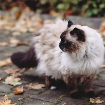 Kačių veislės: Birmos katė (Birman cat) - katė baltomis kojinaitėmis