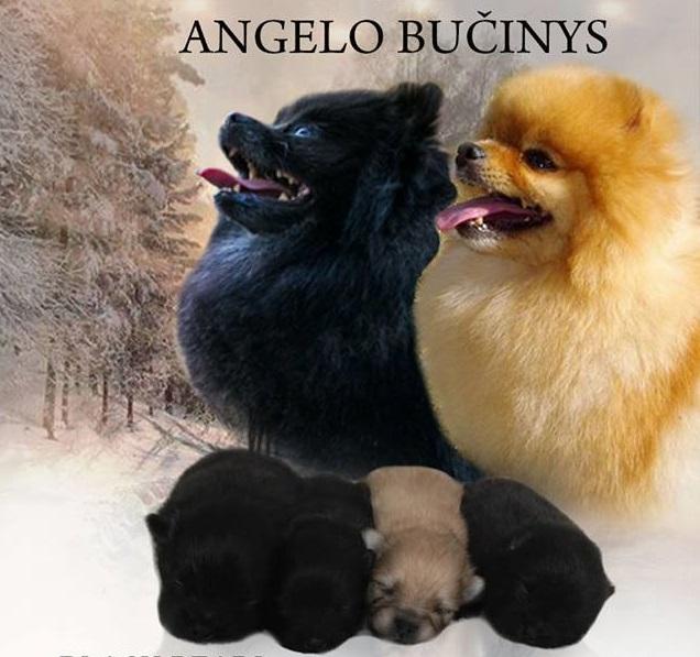 """Vokiečių Nykštukinių špicų vada veislyne""""Angelo bučinys""""– 1 patelė ir 3 patinukai. Parduodami Vokiečių Nykštukiniai špicai, jau galima rezervuoti. Su visais dokumentais. Veislynas Angelo Bučinys."""