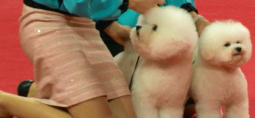 Baltųjų šunų karaliene tituluojama Janita iš Amerikos į Lietuvą parsivežė prestižinius apdovanojimus