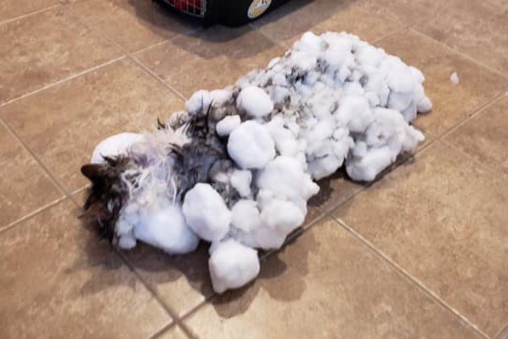 JAV prieš kelias savaites kaustė itin dideli šalčiai ir pūgos. Vieną dieną šeimininkai grįžę į namus nerado katės ten, ieškojo, tačiau pūgos privertė juos pačius ieškoti priglobsčio.  Manoma, kad neradusi, kaip įeiti į namus, Fluffy ir pateko į sniego spąstus šalia namų gatvėje esančioje pusnyje.  Po pusantros paros ją ir rado kaimynai, kurie nuvežė ją į kliniką, o vėliau ir įspėjo šeimininkus. Stebuklui prilygstanti istorija.