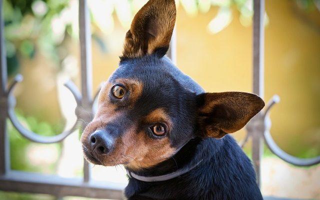 Ką daryti, jei jūsų šuo – užkietėjęs vagišius?