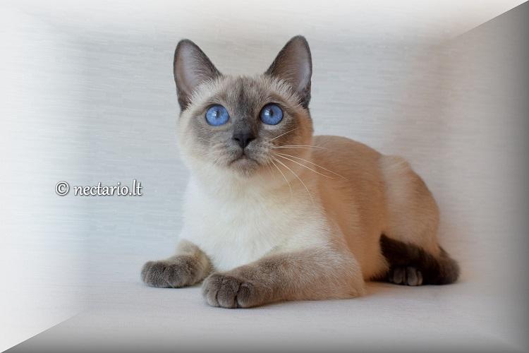 Kačių veislės: Tajų katė (Thai) - taiki, meili, sangviniško tipo būtybė
