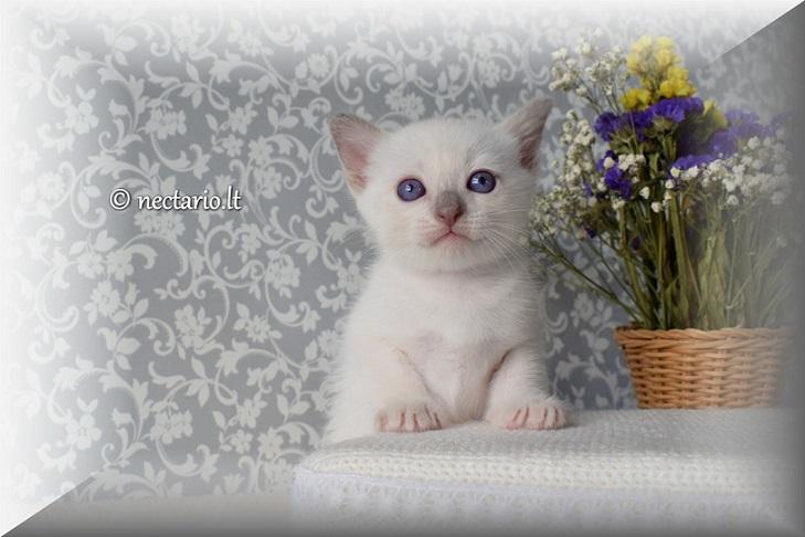 Parduodami Thailando veislė kačiukai