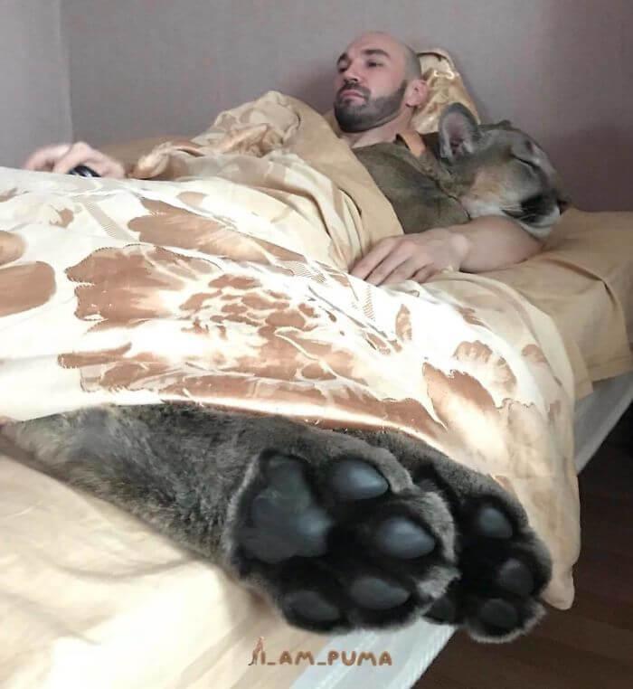 Puma gali buti auginama ir namuose