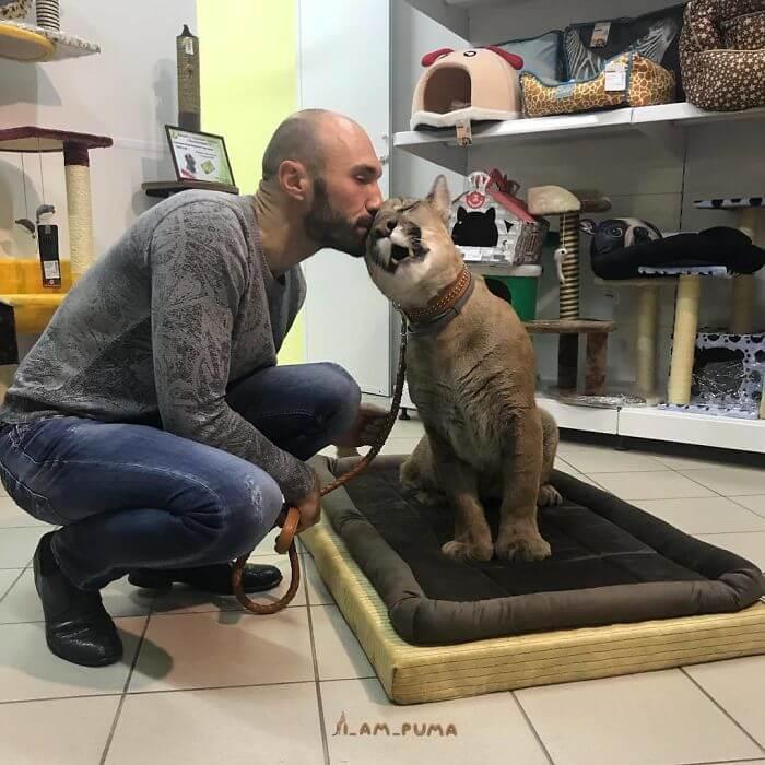 Susipažinkite su Messi: nuostabi puma, gyvenanti ne zoologijos sode, o namuose kaip naminė katė