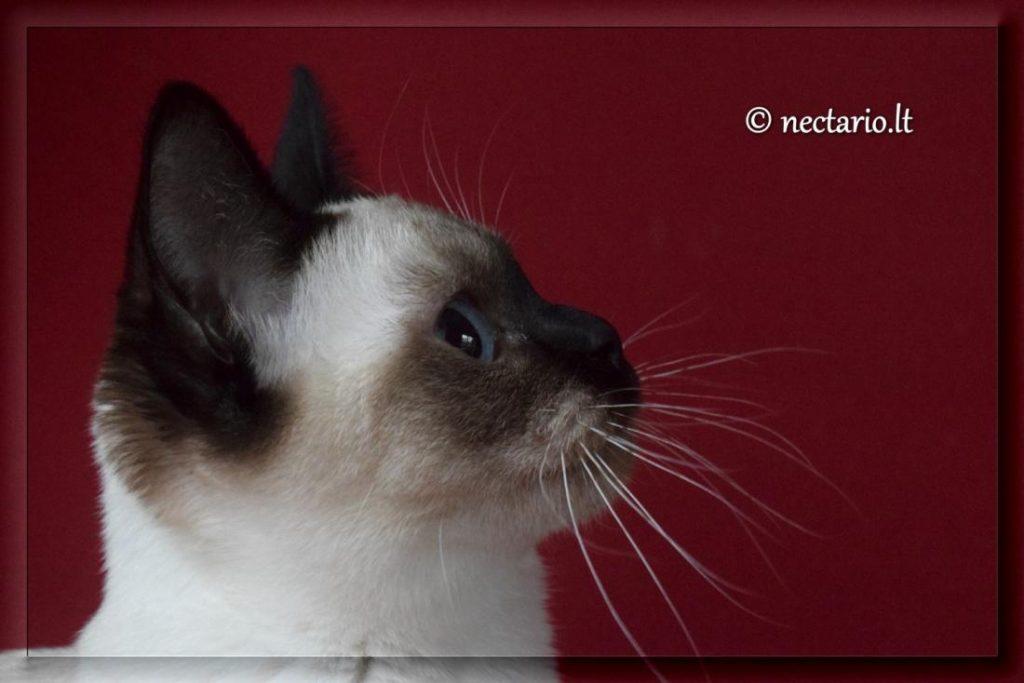 Tailando veislės katė. Veislyno Nectario*LT nuotr.