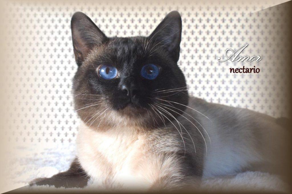 Tailando veislės katinas. Veislyno Nectario*LT nuotr.