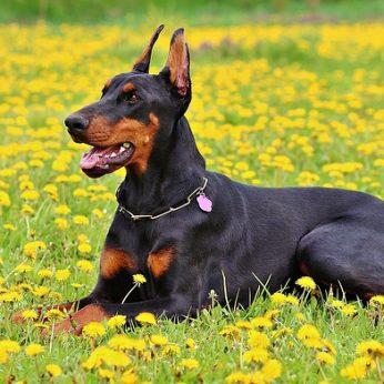 Tarnybiniai - sarginiai šunys: šunų veislės, tinkančios saugoti jūsų namus