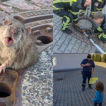 Vaikų akivaizdoje nutukusią žiurkę iš kanalizacijos dangčio vadavę gelbėtojai tapo didvyriais