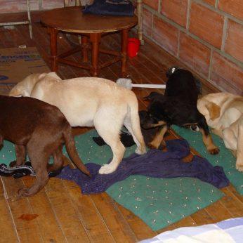 Veterinaras įkalintas už narkotikų kontrabandą gyvuose šuniukuose