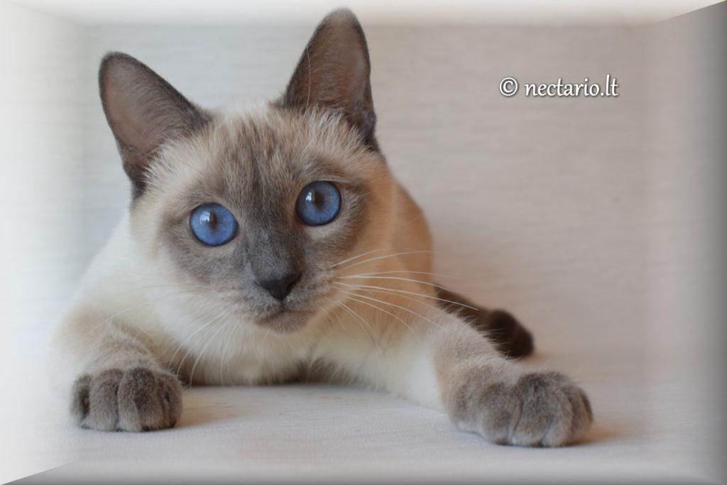 tailando katė veislė