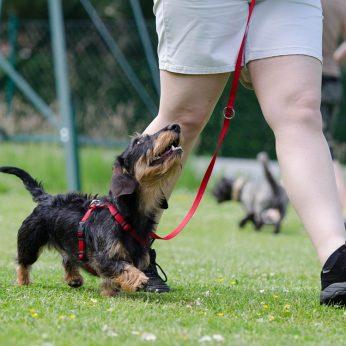 Šunų dresūra namų sąlygomis: kaip priversti augintinį Jums paklusti