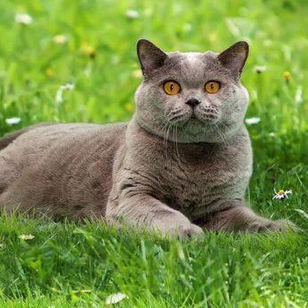 Britų trumpaplaukė katė (British Shorthair) - populiariausia veislė Europoje