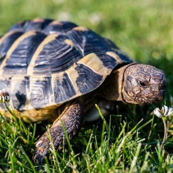 Egzotiniai gyvūnai namuose: GRAIKINIS VĖŽLYS (Greek Tortoise)