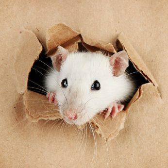 Ką renkasi žiurkės: padėti draugei ar šokoladą?