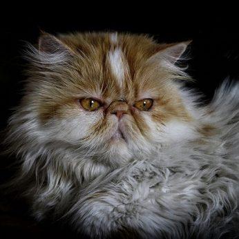 Kačių veislės Persų katė (Persian cat) - švelni, rami, ilgo kailio gražuolė..