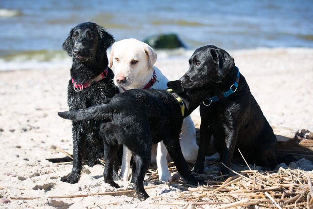 Labradoro ir lygiaplaukių retriverių veislynas GOJUS