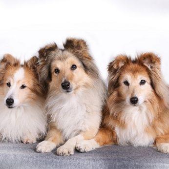 Šunų veislės Šeltis (angl. Shetland Sheepdog) - protingas ir lengvai prisitaikantis šuo