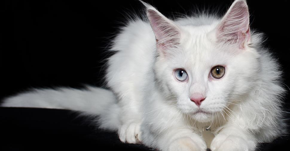 Ar žinojote, kad balta kačių kailio spalva ir įgimtas sensoneuralinis kurtumas yra susiję?