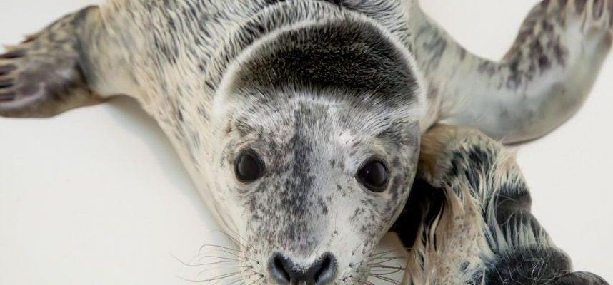 Išgelbėti ruoniukai bus globojami Jūrų muziejuje, kol pakeis kailiukus