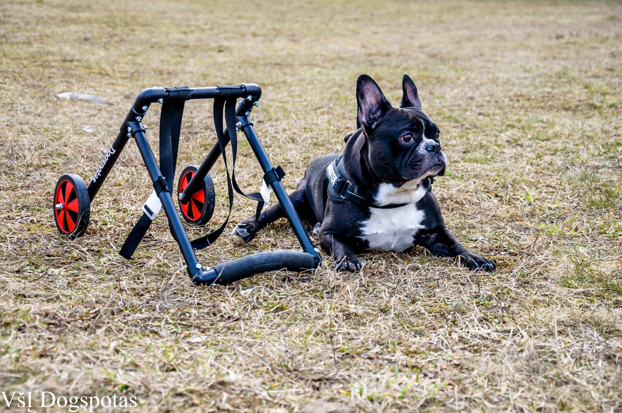 Ratukai šunims / Wheelchairs for dogs
