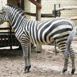 Savaninis Granto zebras