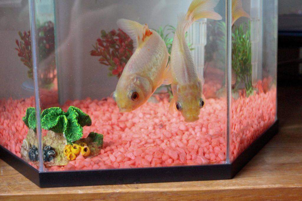 Sulaukusi 44-erių mirė seniausia auksinė žuvytė. SWNS/Scanpix nuotr.
