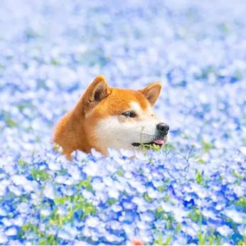Šiba Inu veislės šuo Hachi