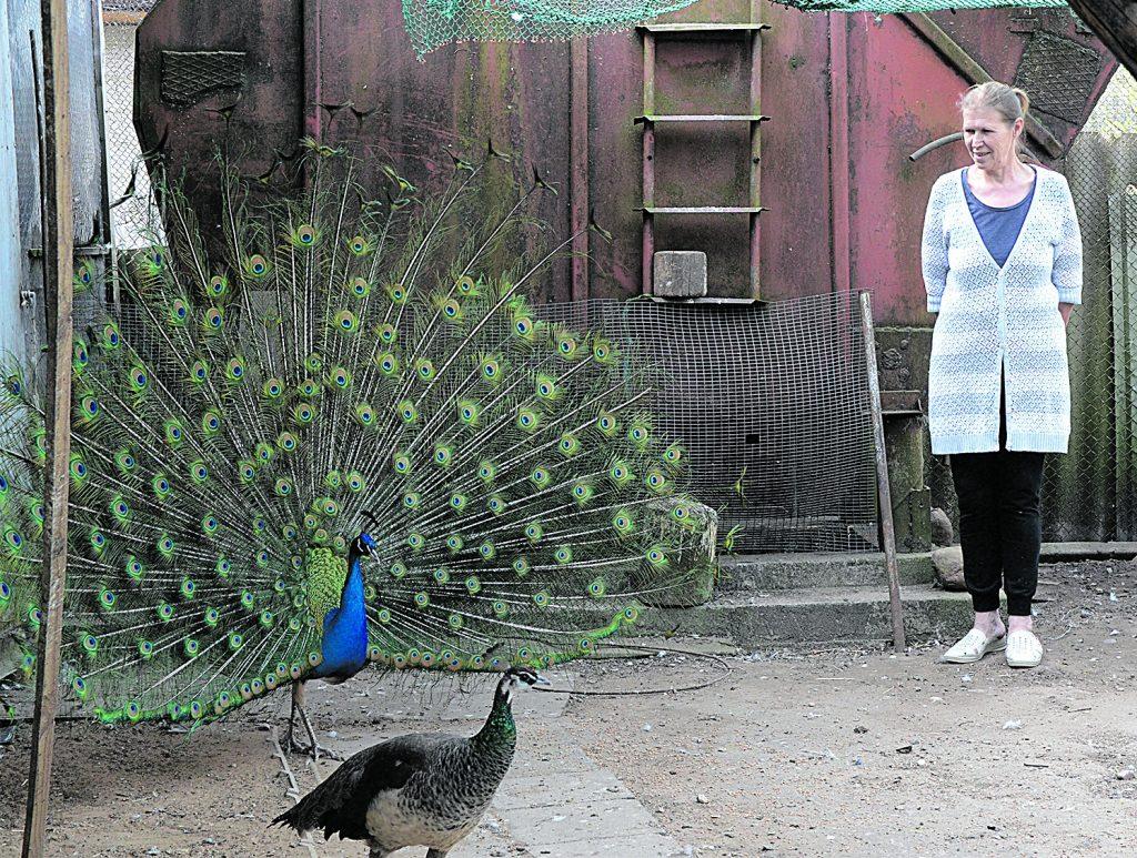 """Žibininkų kaime gyvenanti Genovaitė Šunokienė aprodžiusi savo paukščius atkreipė dėmesį į įspūdingo grožio povą: """"Povai stengiasi """"šokti"""", kai tik randa galimybę tai daryti.""""© """"Pajūrio naujienos"""""""