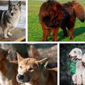 9 retos veislės, kurios pamalonins šunų mylėtojų akis