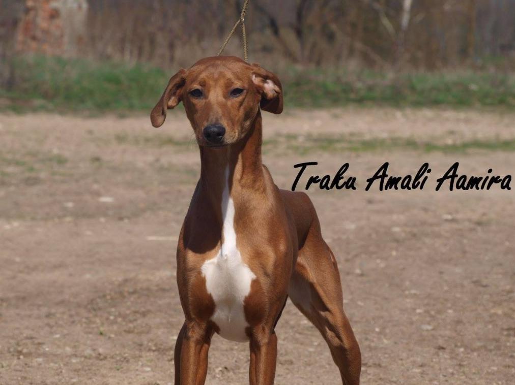 Azavakų veislės šunys