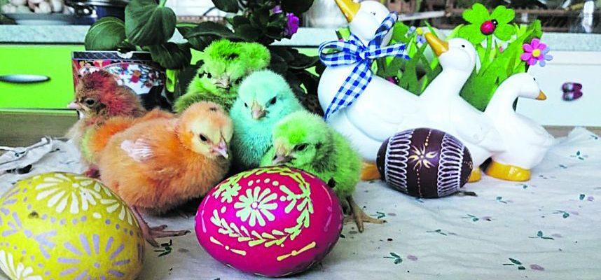 Spalvotus viščiukus paukščių augintoja perina tik kartą metuose