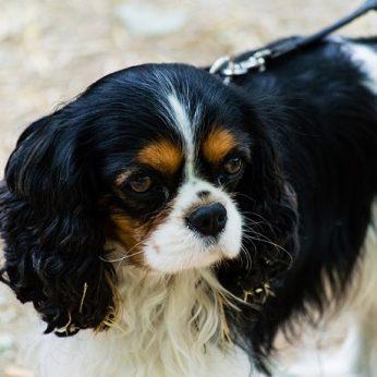 Šunų veislės: Kavalieriaus karaliaus Karolio spanielis (Cavalier King Charles Spaniel)