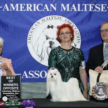Bišonai iš Lietuvos laimi apdovanojimus Jungtinėse Amerikos Valstijose