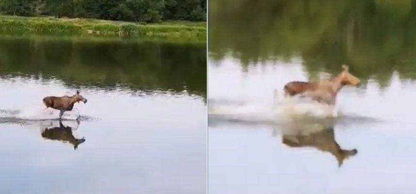 Ir gyvūnai ieško būdų, kaip atsigaivinti: įamžintas Nemunu bėgantis briedis