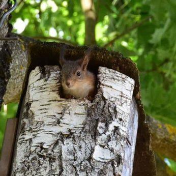 Kėdainiečių kieme apsigyveno voverių šeimynėlė