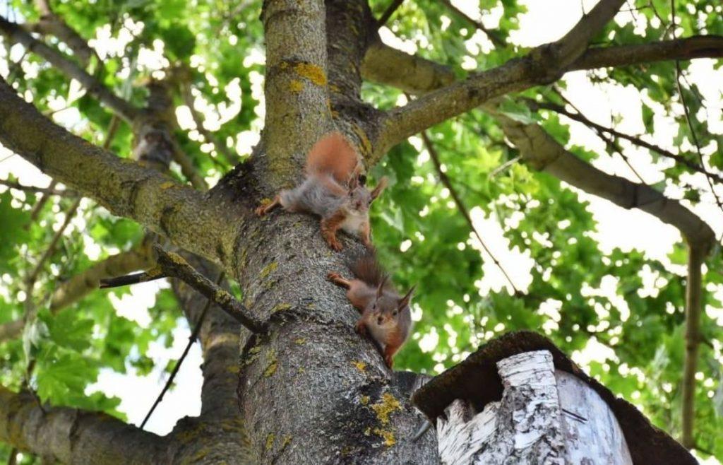 Kėdainiečių kieme apsigyveno voverių šeimynėlė. Asmeninio archyvo nuotr.