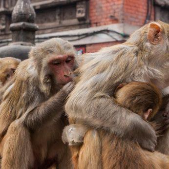Svilinant didžiuliam karščiui Indijoje beždžionių bandą ištiko šilumos smūgis