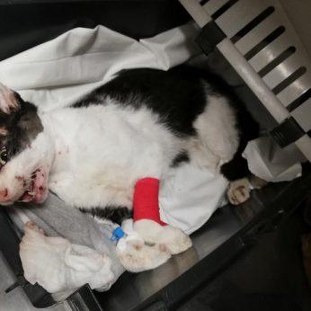 Žiaurumas šokiruoja prie Rietavo – sunkiai sužalotas kačiukas, o kitai katei amputuota koja