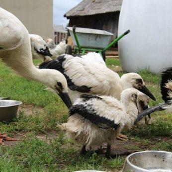 Gandrus globojantis ūkininkas juokauja: galėtume skolinti krikštynoms
