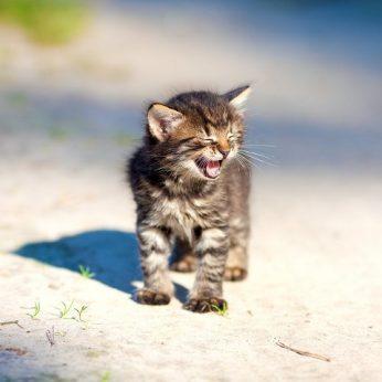 Kodėl katės miauksi? Tokio atsakymo greičiausiai nesitikėjo