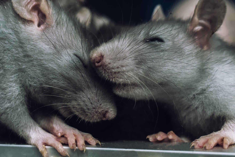 Почему в России не выполняется один из главных заветов Крысы